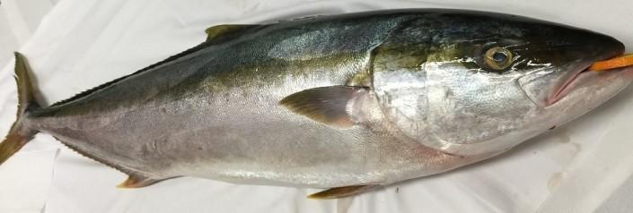 Ristorante Maestrale Roma pesce - Ricciola da 10 kg